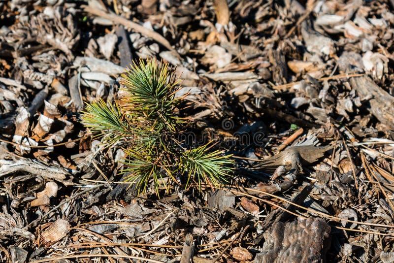 发芽从地面的杉树树苗 免版税库存图片