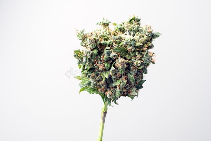 发芽医疗的大麻 库存图片