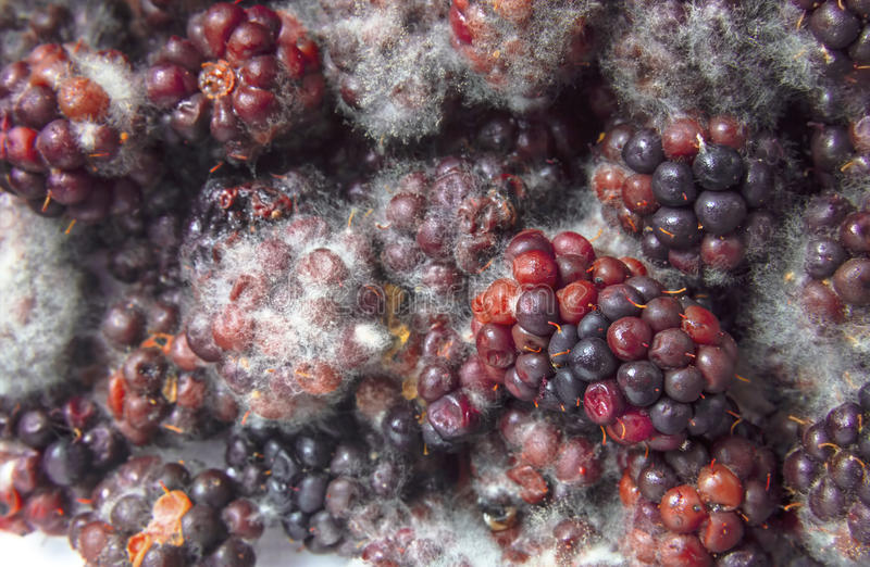 发霉的黑莓 图库摄影