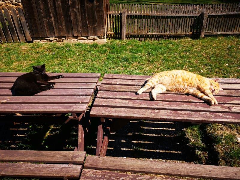 取暖两只的猫在阳光下 库存图片