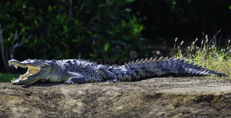 取暖在夏天太阳的鳄鱼