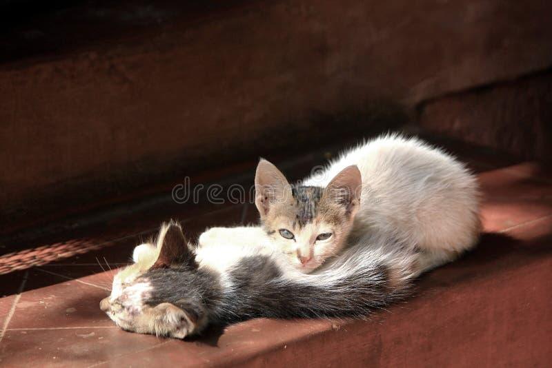 取暖在早晨太阳的一个对小猫 免版税库存图片