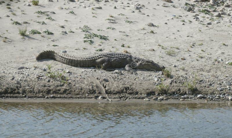 取暖在沙子海滩的鳄鱼ramganga河 免版税库存图片