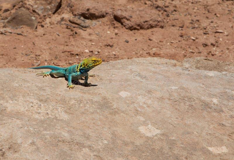 取暖在沙漠太阳光的一个岩石的黄色和蓝色共同的抓住衣领口的蜥蜴Crotaphytus insularis 免版税库存图片