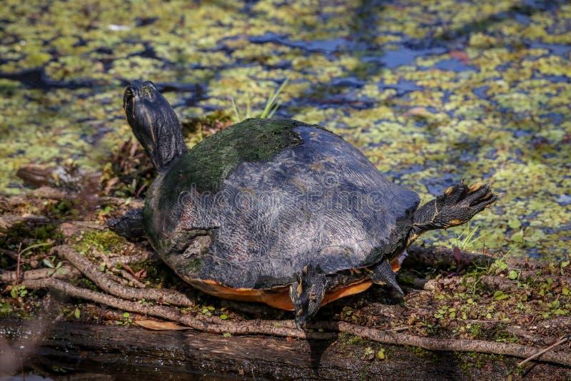 取暖在阳光下和做一些瑜伽的Cooter河乌龟 库存照片