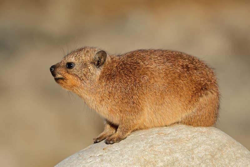 取暖岩石的非洲蹄兔 库存图片