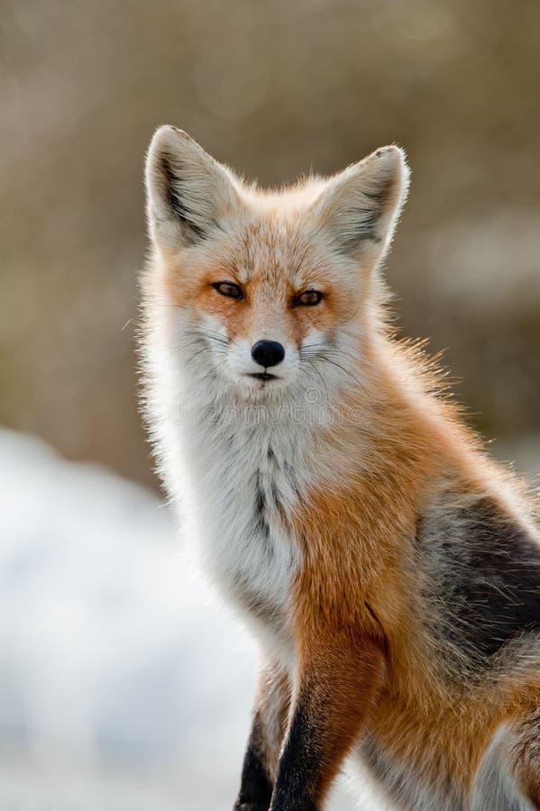 取暖的狐狸红色星期日 免版税库存图片
