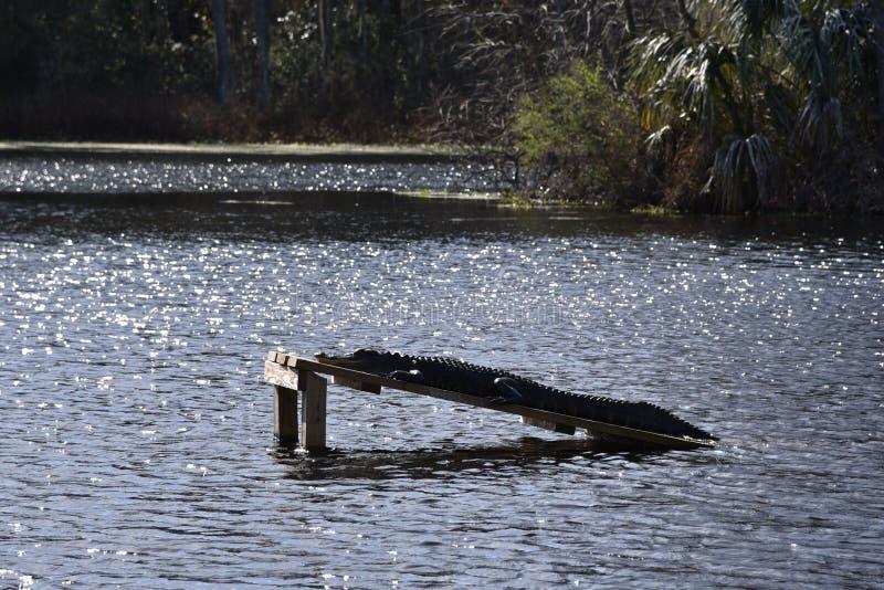 取暖的鳄鱼在阳光下 库存照片