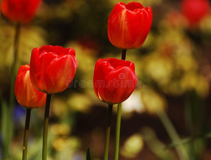 取暖红色的郁金香在阳光下 库存照片