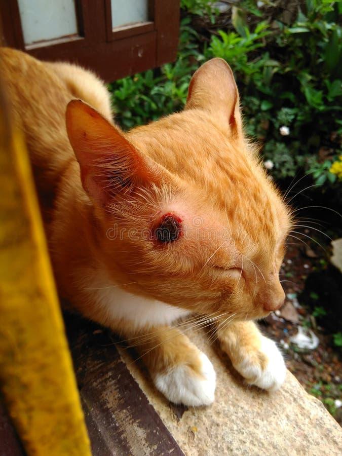 受伤的猫 免版税库存照片