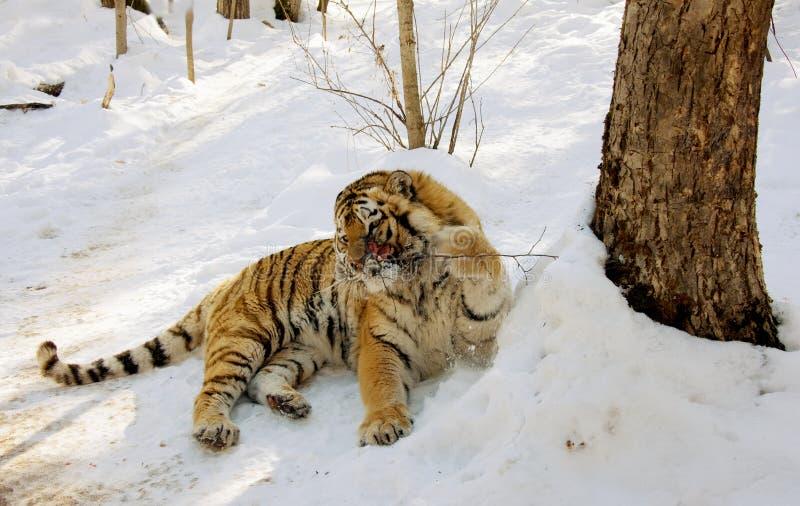 受伤的老虎 免版税库存照片