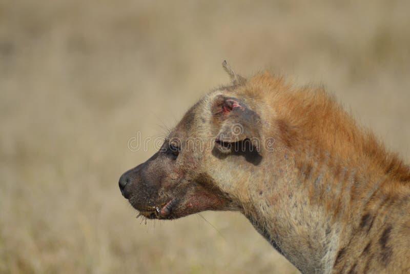 受伤的鬣狗 免版税库存图片