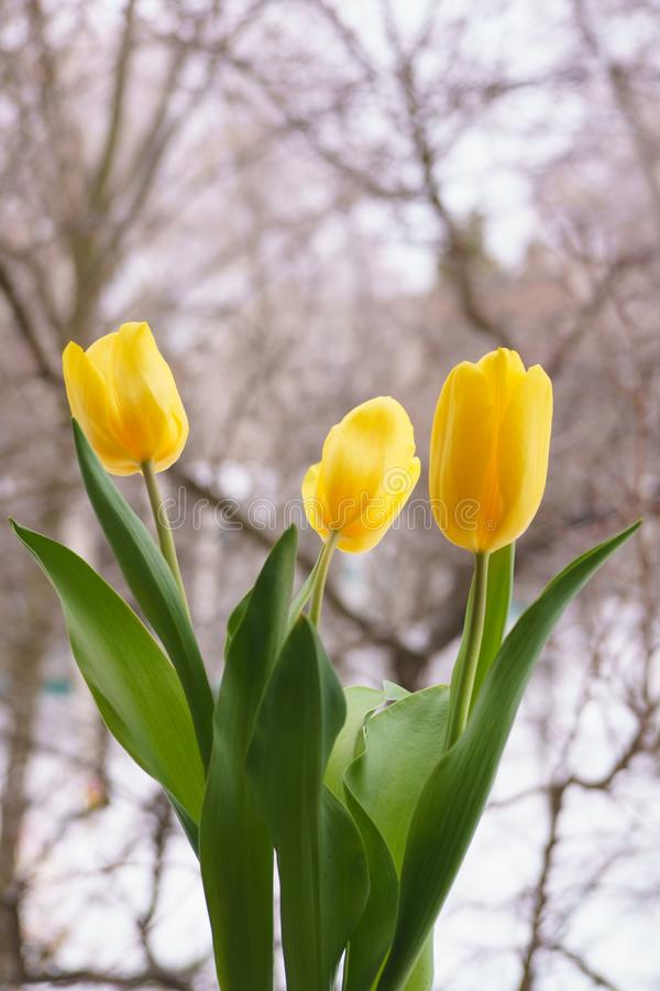 受欢迎的春天 在雪庭院backgroun的美丽的黄色郁金香 免版税库存照片