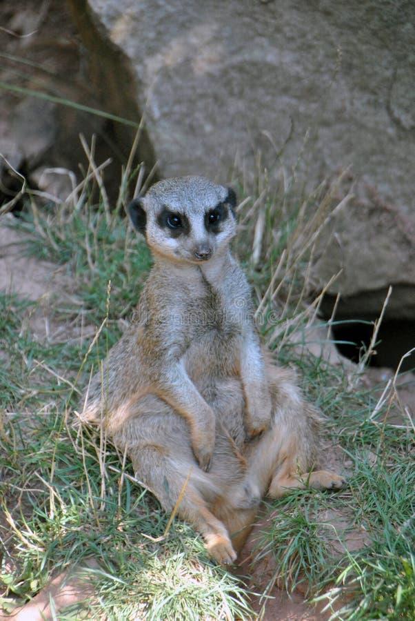 变冷在树荫下的Meerkat在一个热的夏日 库存图片