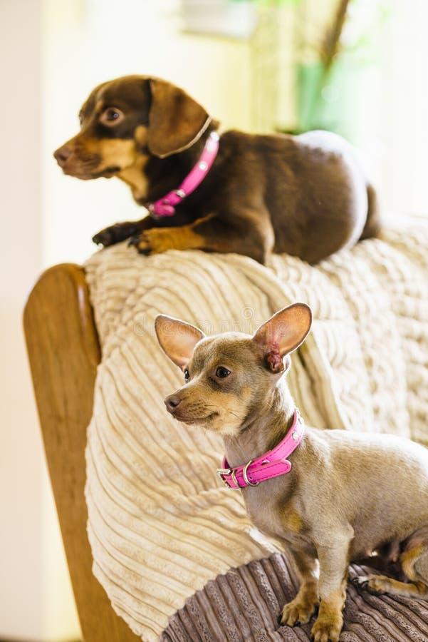 变冷在沙发的小犬座 免版税库存照片