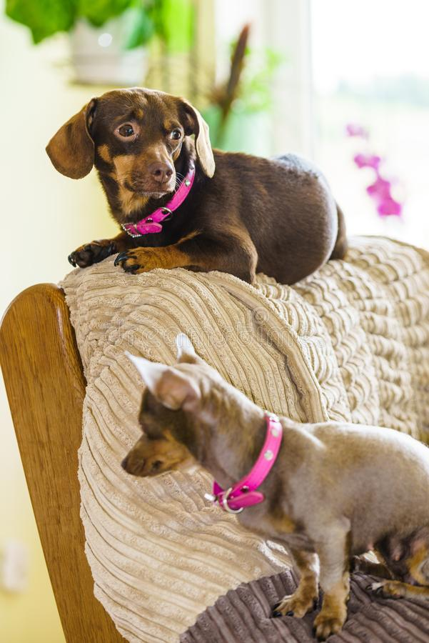 变冷在沙发的小犬座 免版税图库摄影