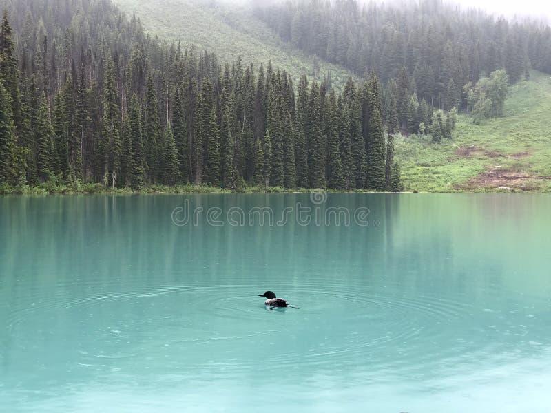 变冷在绿松石湖的鸟在鲜绿色湖 库存照片