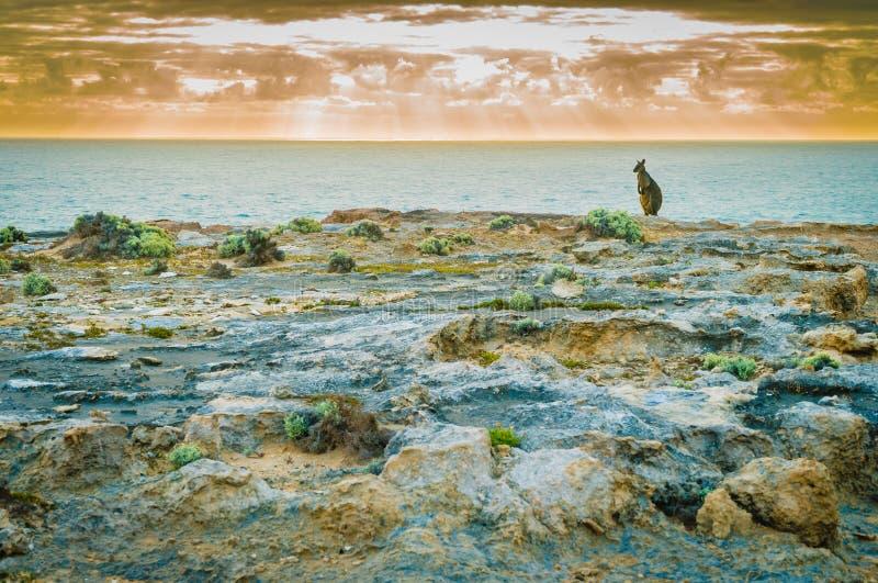 变冷由海的袋鼠在日落在澳大利亚 免版税库存图片