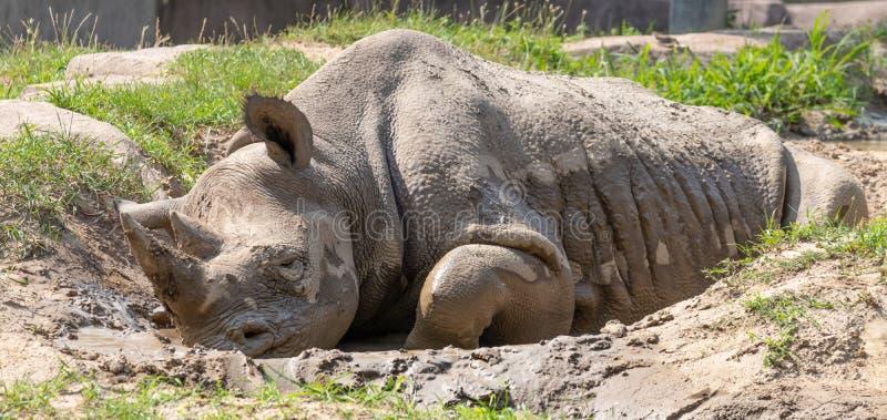 变冷静在泥的犀牛 库存照片