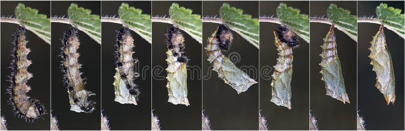 变形小龟甲(Aglais urticae) 库存照片