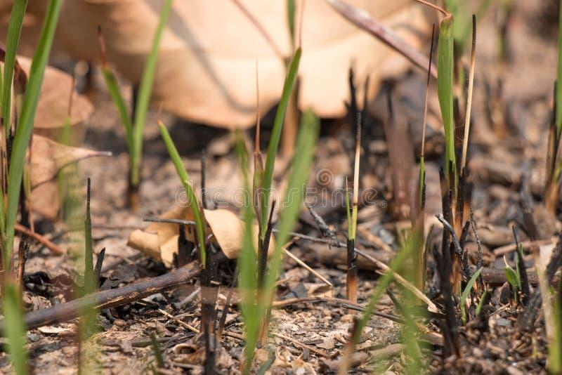 变成灰烬并且烧了草地被研在火以后 免版税库存照片