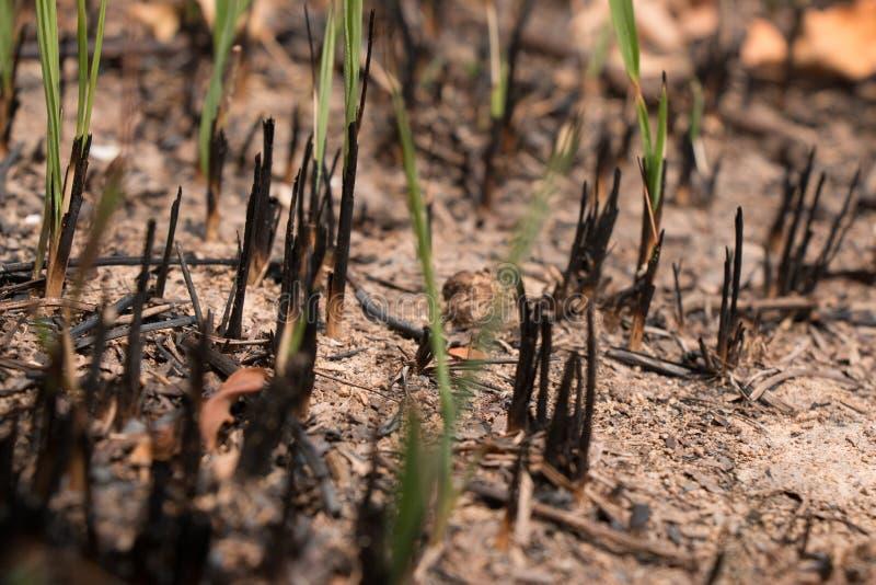 变成灰烬并且烧了草地被研在火以后 免版税库存图片