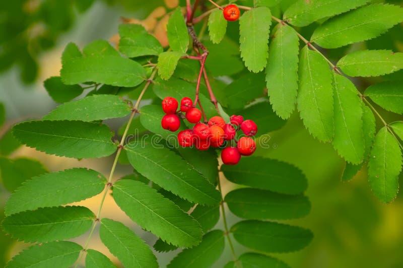 变成灰烬浆果红色结构树 图库摄影