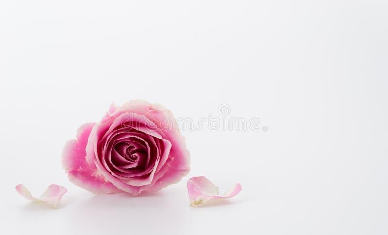 变粉红色玫瑰色白色 免版税库存照片