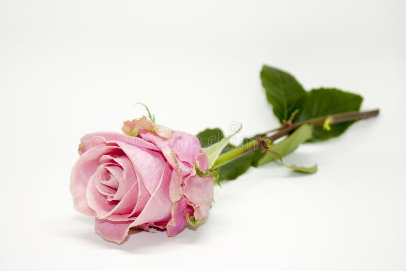 变粉红色玫瑰色 自然秀丽 免版税库存图片