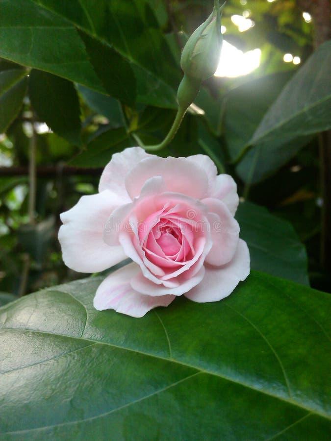 变粉红色玫瑰色 免版税库存图片