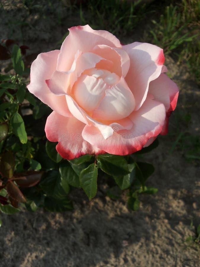 Download 变粉红色玫瑰色 库存图片. 图片 包括有 唯一, 庭院, bossies, 粉红色, 上升了 - 72368585