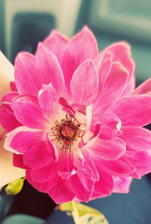 变粉红色瓣 免版税库存照片