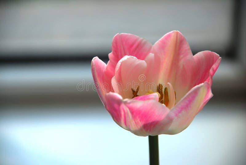 变粉红色郁金香 免版税库存照片