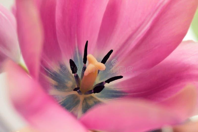 变粉红色郁金香 库存照片