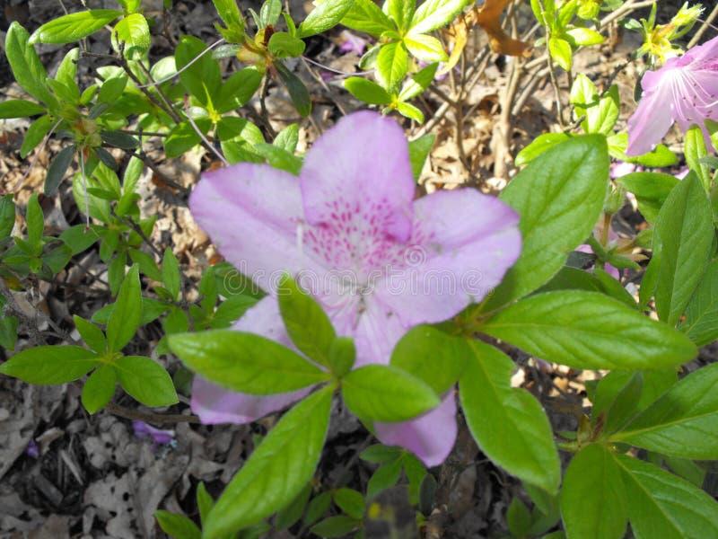 变粉红色紫色花 免版税库存照片