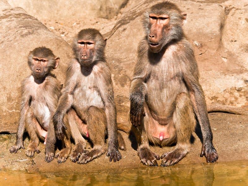 变老狒狒不同三 库存图片