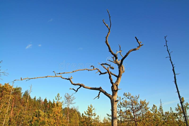 变老的干燥杉木 库存照片
