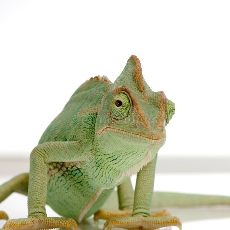 变色蜥蜴也门 免版税库存照片