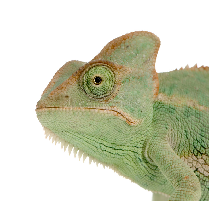 变色蜥蜴也门 库存图片