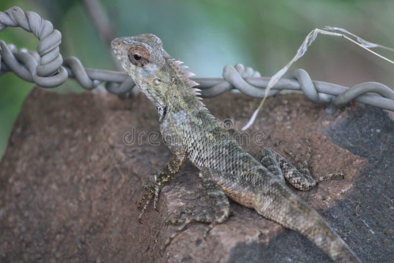 变色蜥蜴在密林 在岩石 免版税库存图片