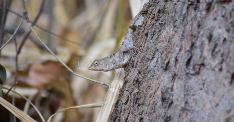 变色蜥蜴在泰国和干燥条件在夏天 免版税库存照片