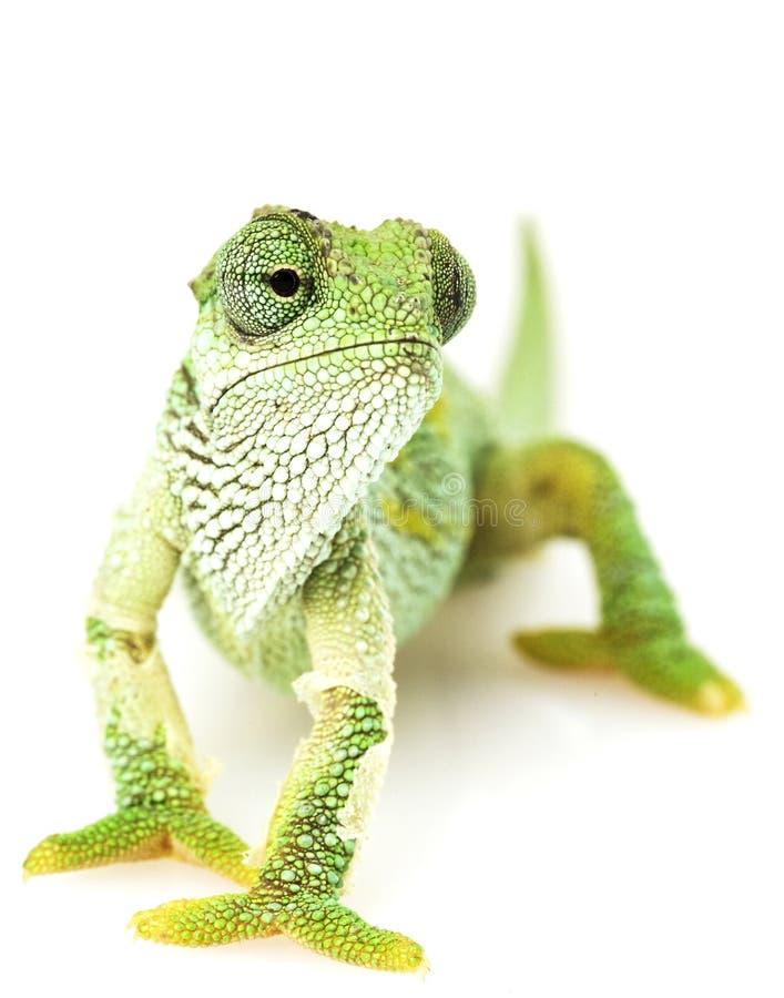 变色蜥蜴绿色 库存图片