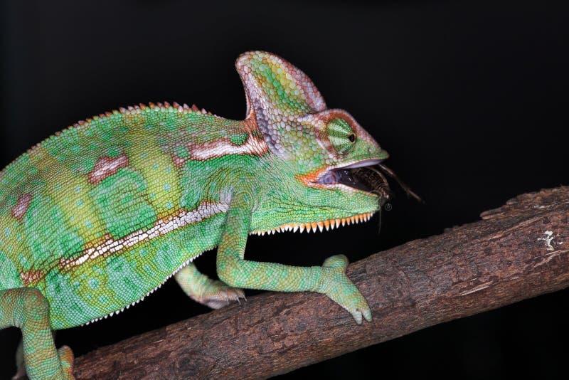 变色蜥蜴羯磨 免版税库存照片