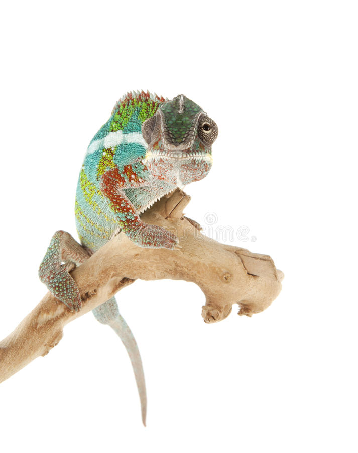 变色蜥蜴 免版税图库摄影