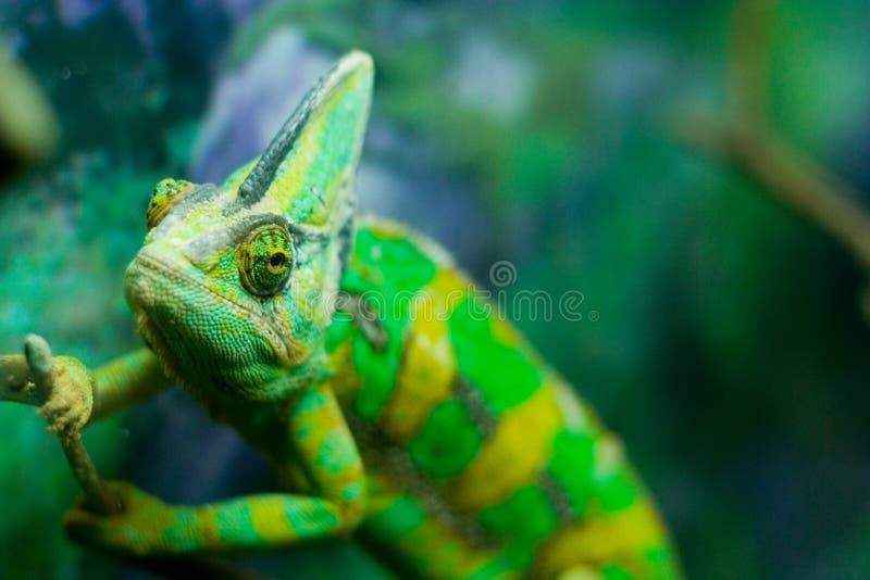 变色蜥蜴 免版税库存图片