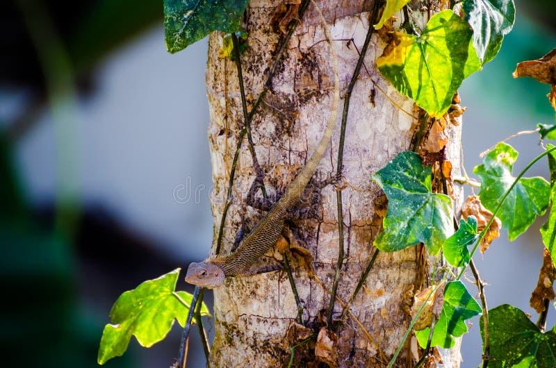 变色蜥蜴伪装Chamaeleo zeylanicus 免版税库存照片
