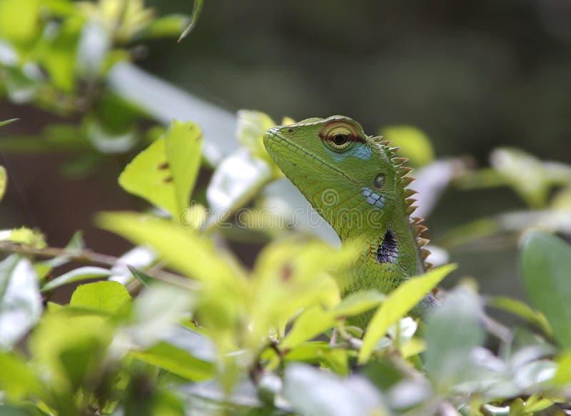 变色蜥蜴在斯里兰卡 库存照片