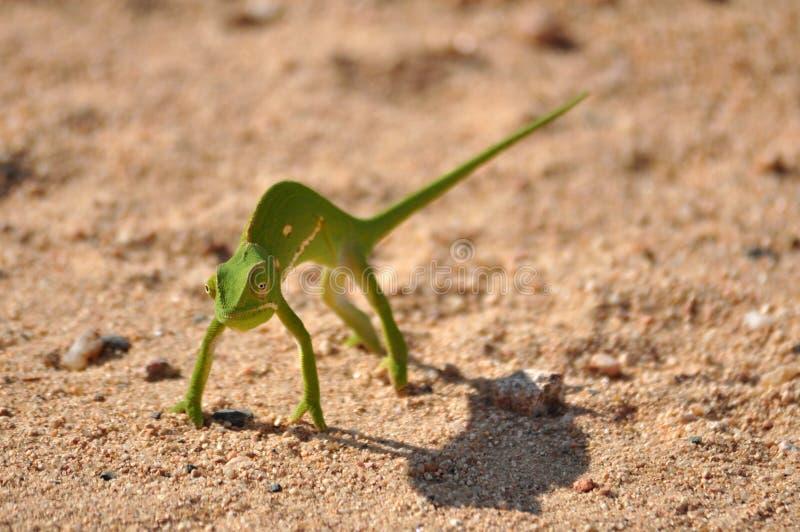 变色蜥蜴在非洲 库存照片