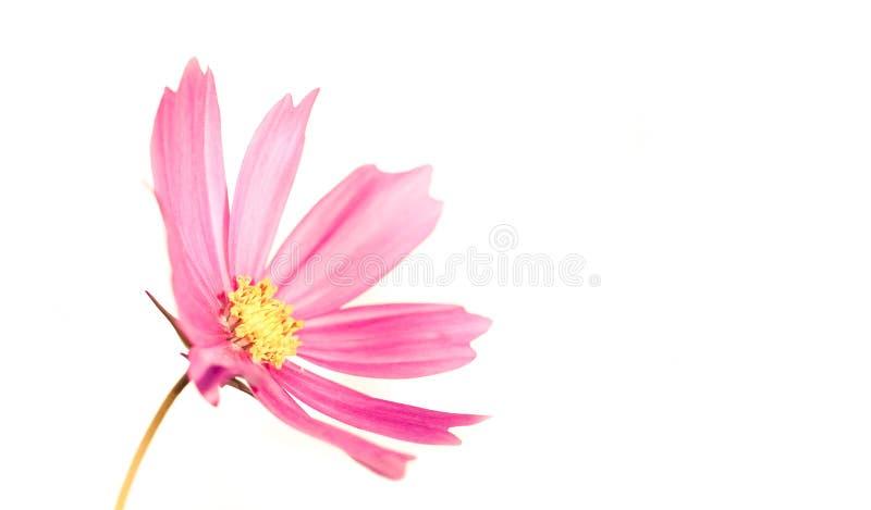 """变苍白和有一点开花在春天和夏天期间的成为不饱和的浅粉红色的野花""""Wild Cosmos†波斯菊bipinnatus 库存图片"""