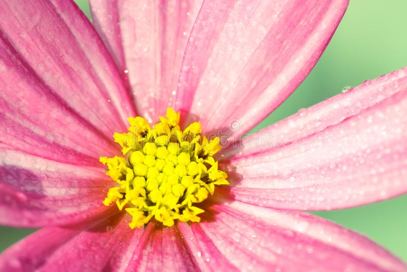 """变苍白和有一点成为不饱和的浅粉红色的野花""""Wild Cosmos†波斯菊bipinnatus,包括由水滴在雨以后 库存图片"""